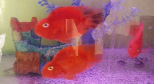 Rad Fish Parrot Size 3in Rs 700 Number Lucky Pet Shop Id