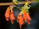 Woodfordia Fruticosa Dhai Phul Extract
