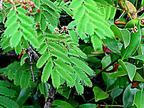 Shikakai Acacia Concina View Specifications Details Of