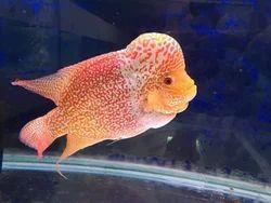 Flowerhorn Fish, Size: 5 Inch