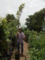 Gardens Horticulture Plantation Service, For Gardening, Farm Nursery