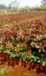 Too Secret Dutch Rose Plants