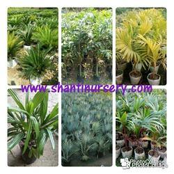 Cycas Palm Trees