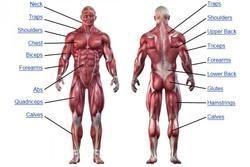 Human Anatomy Charts - Wholesale Price & Mandi Rate for Human ...