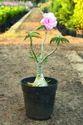 Adenium Mudda Colour Plant