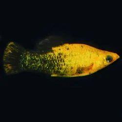 aquarium fish in howrah latest price mandi rates from dealers in