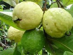 Sweta Lalit Allahabadi Guava Plant