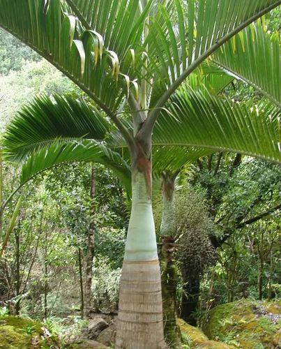 Bottle Palm Tree