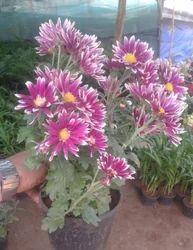 Guldawri Flowers Plant