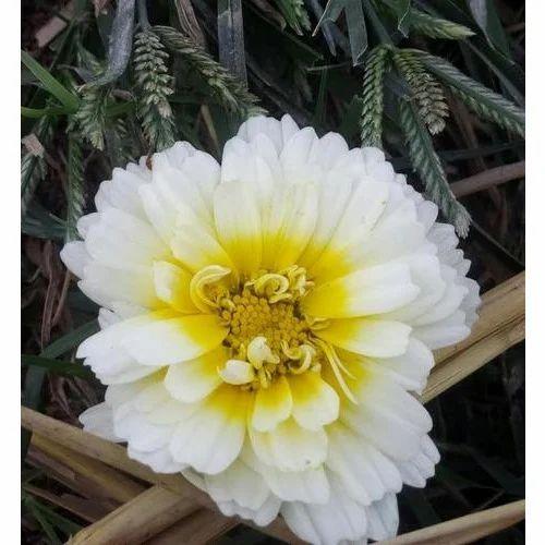 Marigold flower white marigold flowers flower agriculture marigold flower mightylinksfo