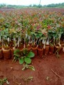 Hot Showt Dutch Rose Plants