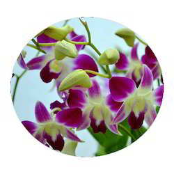 Dendrobium Plant