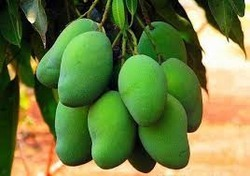 Mango in Bengaluru | Aam Suppliers, Dealers & Retailers in Bengaluru