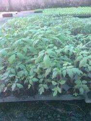 Tomato Plants Seedling