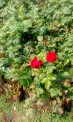 Divine Hybrid Rose Plants