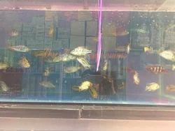 Blue Pil Fish