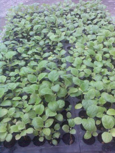 Brinjal Plants Seedlings