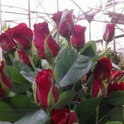 Cut Flowers,and Dutch Rose Plants