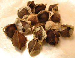 Natural Moringa Conventional Seeds