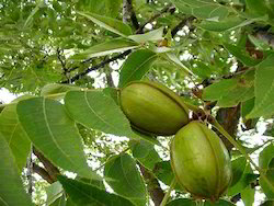 Almond Plant