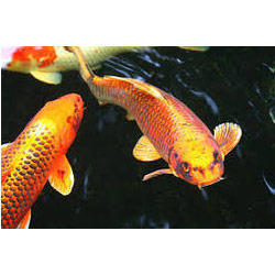 Koi Fish Wholesale Price Mandi Rate For Japanese Koi Fish