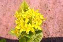 Ixora Coccinea Plant