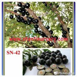 Jaboticaba Fruit Plant