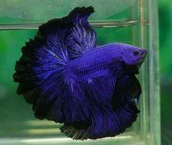 Aquarium Betta Fish.