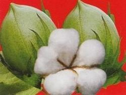 BG-II Cotton Hybrid Tukaram from RJ Biotech