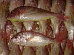 Japanese Threadfin Breams