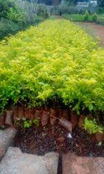 Dhurwanda Sho Plants