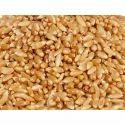 Bhalia Wheat