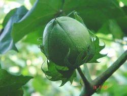 Shree Maha Rakshak Cotton Seeds