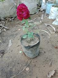Red Desi Rose Pack Size  Number Polythene