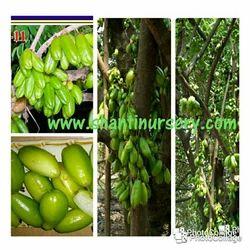 Bilimbi Fruit Plant