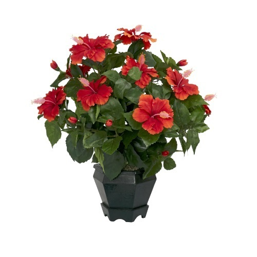 Hibiscus Pot Plants At Rs 50 Piece Flowering Plant Id 13622411448