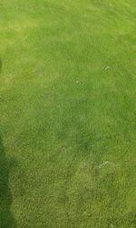 Bermuda/Mexican Grass