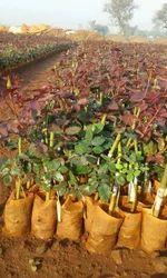 Dutch Plants