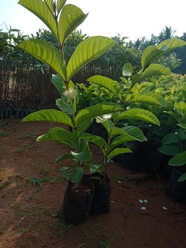 Pinapple Guava Plant - Garden Design Ideas