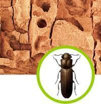 Wood Borer Control Services