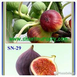 Fig Fruit Plant