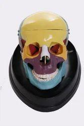 Adult Skull (Coloured) Life Size Models