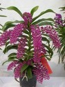 Rhynchostylis Gigantea Orchid Plant