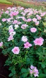 Revival Dutch Rose Plants