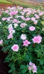 Revival Dutch Rose Plants