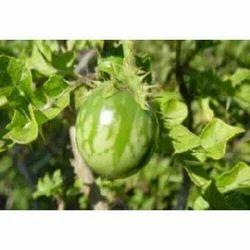 Solanum Xanthocarpum - Kantakari Extract