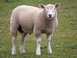 Sheep Milk