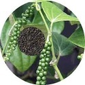 Black Pepper Extract (Piper Nigrum)