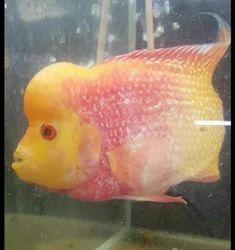 Flowerhorn Golden Srd Fish, Size: 3 Inch