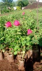 Gladiator, Rose Plants
